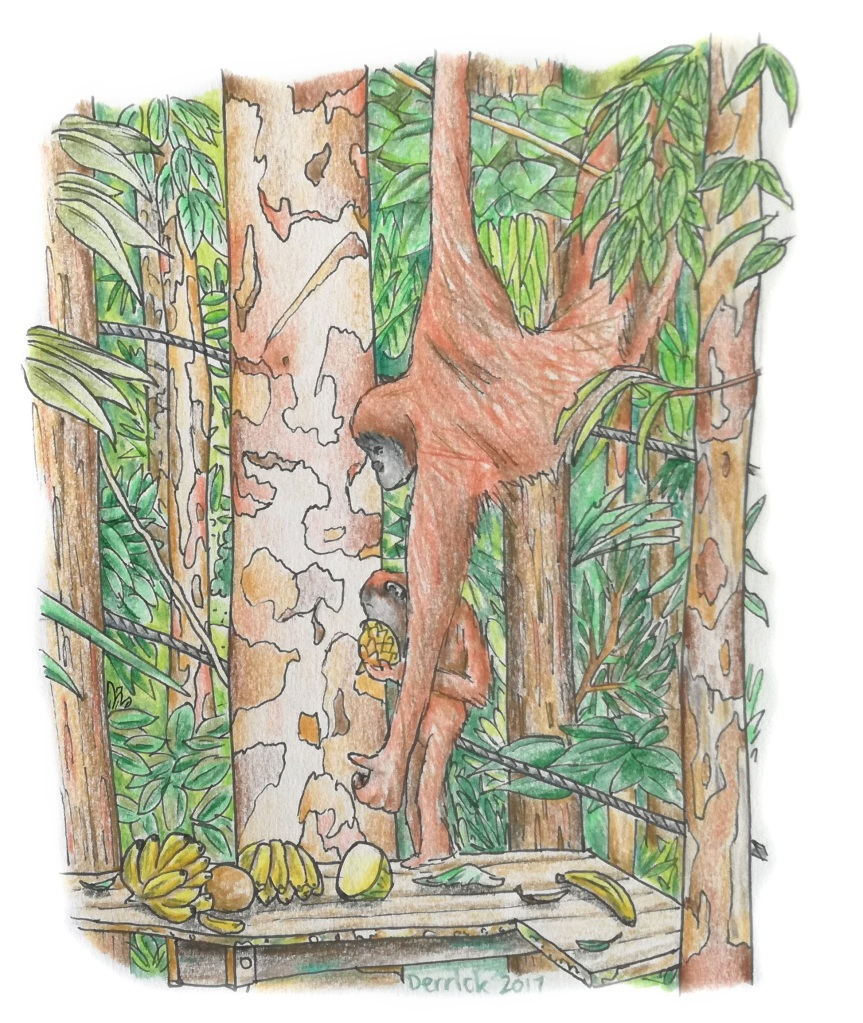 Sketch of two orangutans eating in Malaysia