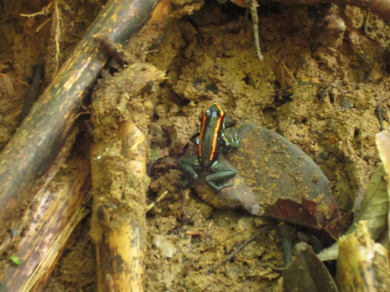 Golfo Duce poison dart frog. Don't lick.