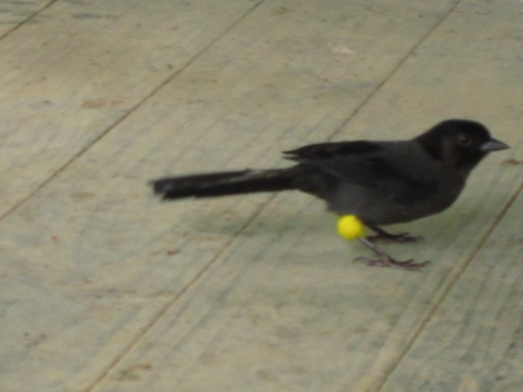 A strange bird, with yellow knees like a bumblebee