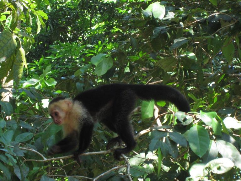 Capucin monkey