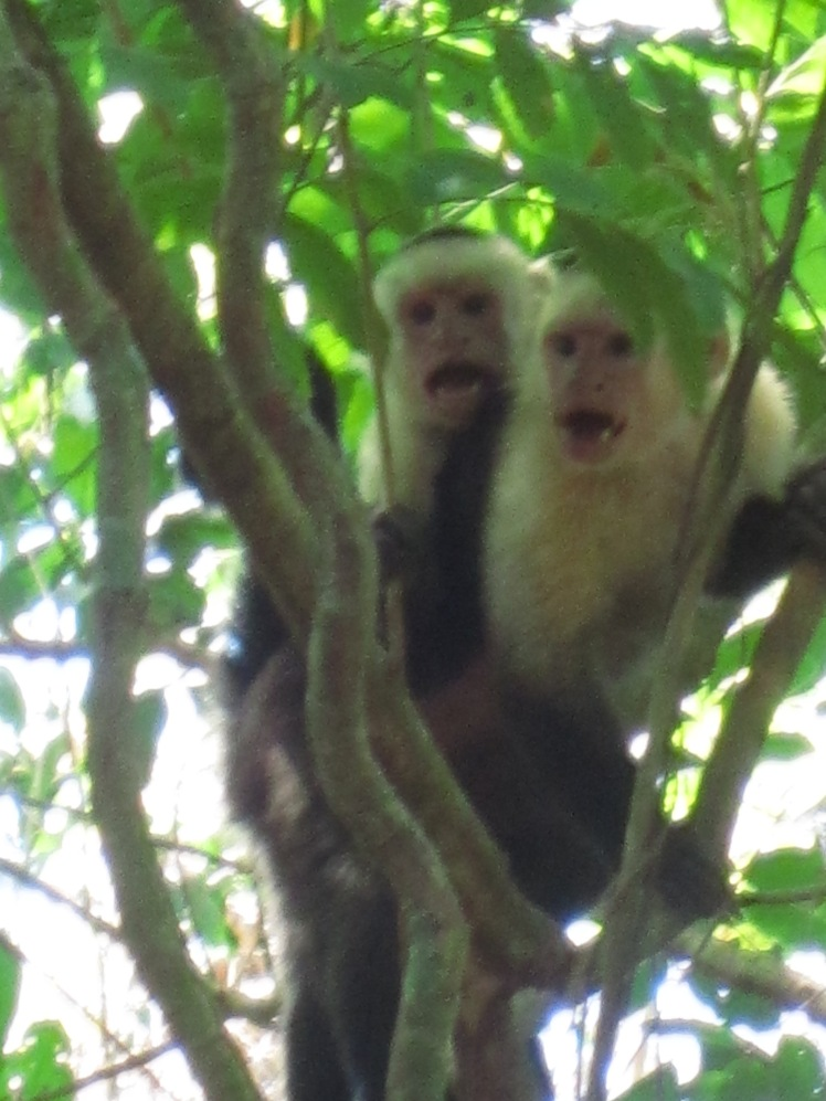 Capucin monkeys; clearly upset with human prescence