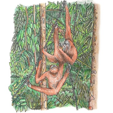 Sketch of orangutans playing at Semenggoh rehabilitation centre