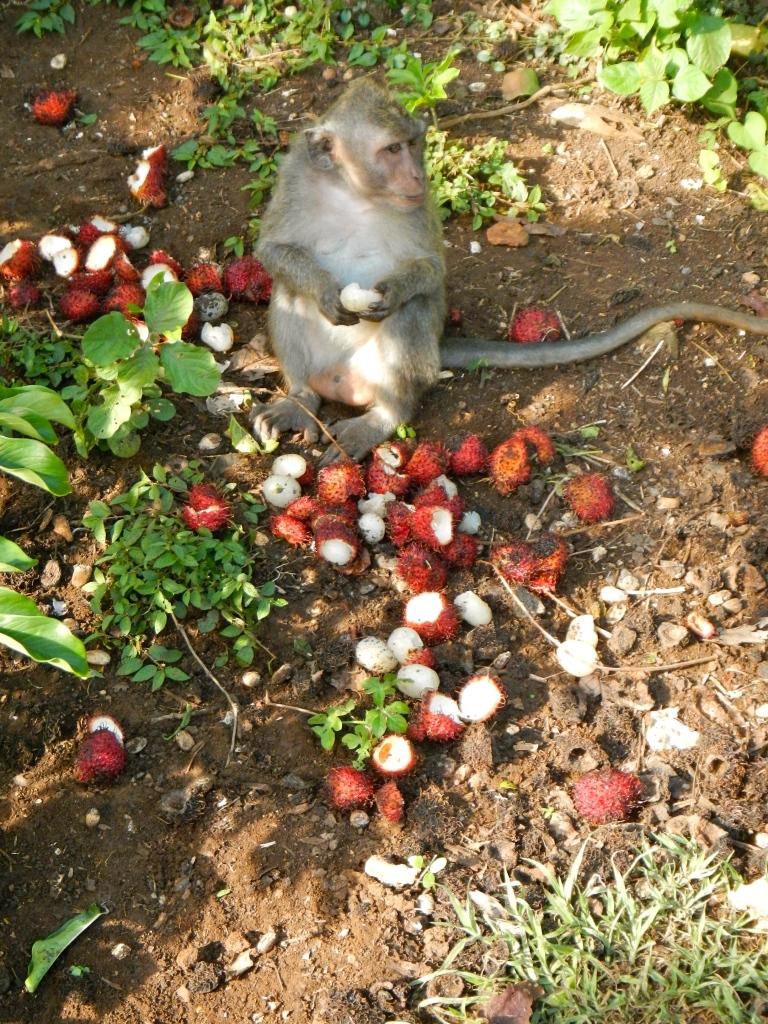 Gluttonous macaque