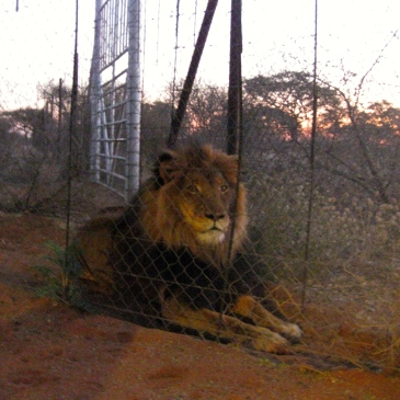 A male lion in an enclosure in Namibia