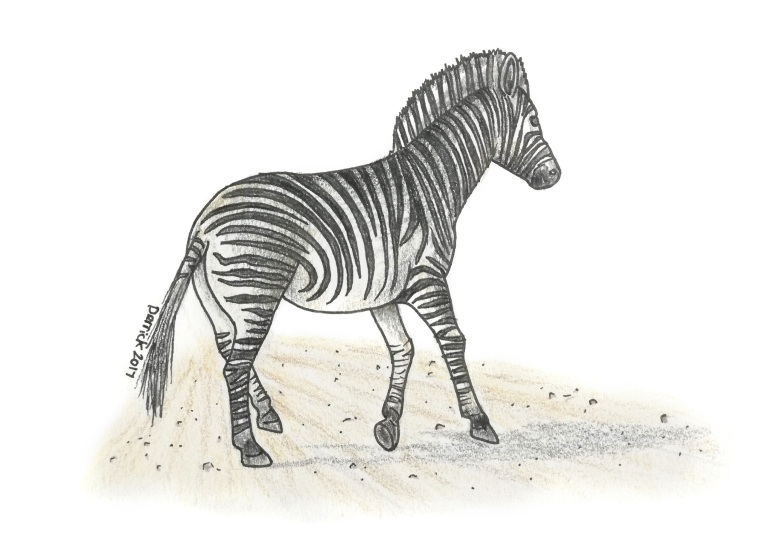 Drawing of an african zebra running across a road