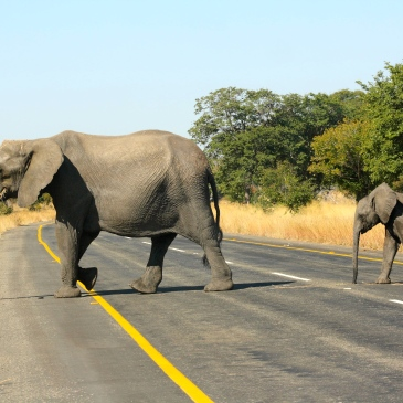 Two african elephantsvwalk across a road in chobe national park