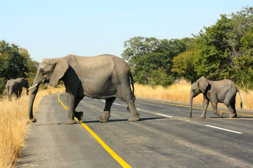 Driving on a highway with a herd of elephants