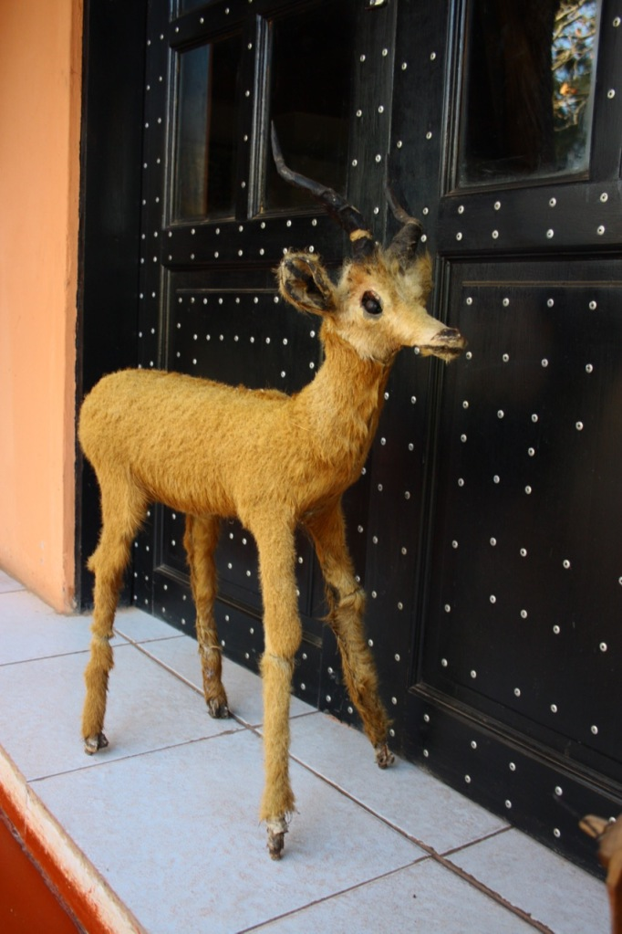 a bad taxidermy job on an antelope