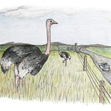 Drawing of ostriches on the garden route of south africa