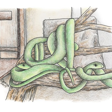 Drawing of green tree snakes in genesis snake park mikumi tanzania