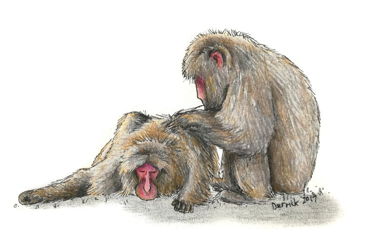 Sketch of Japanese snow monkeys grooming each other