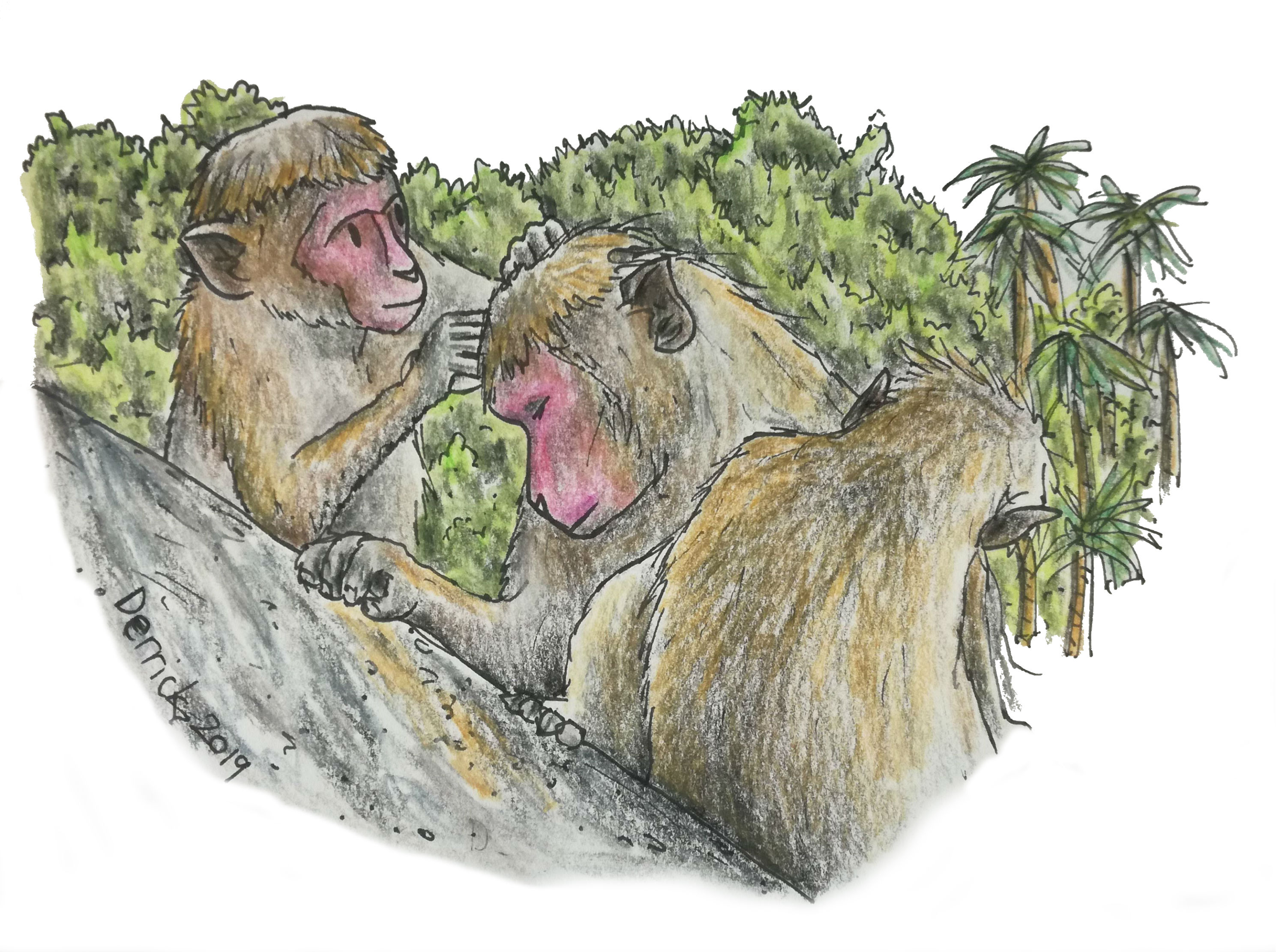Sketch of toque macaques grooming