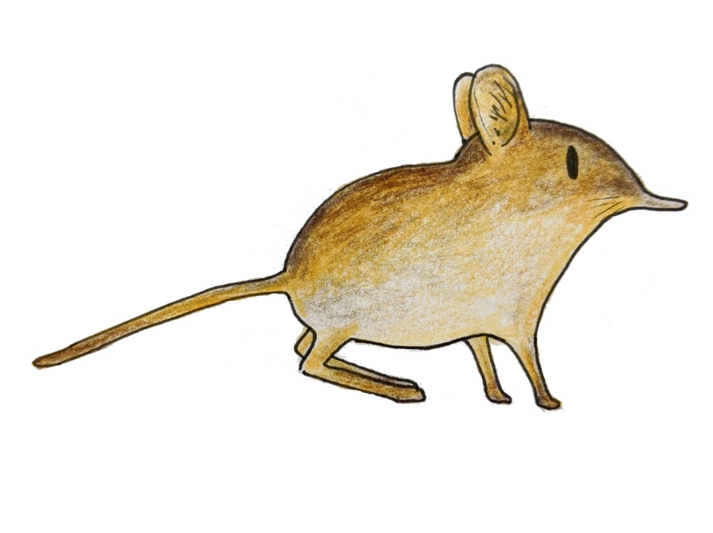 Sketch of elephant shrew small five African animal