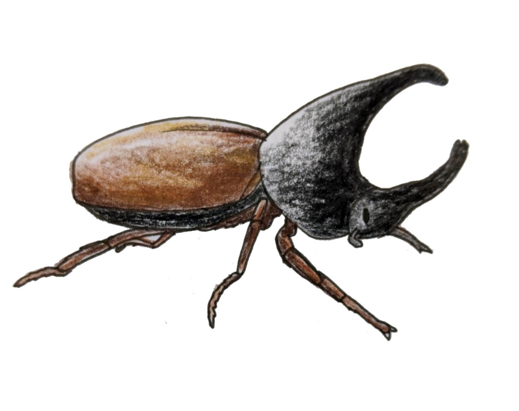 Sketch of a rhino beetle from the African Small five