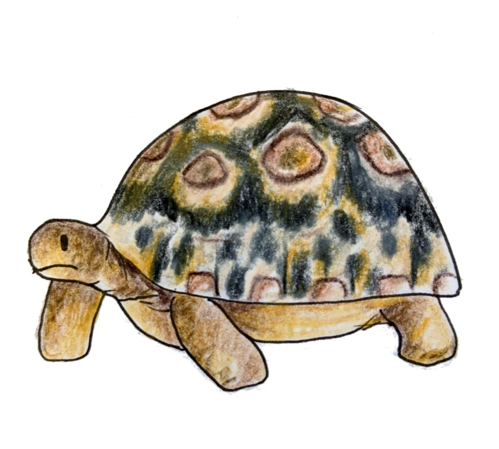 Sketch of a leopard tortoise African reptile