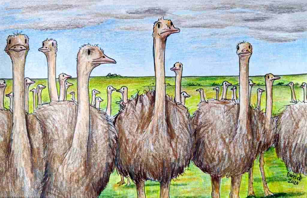 Drawing of ostriches on an ostrich farm in South Africa