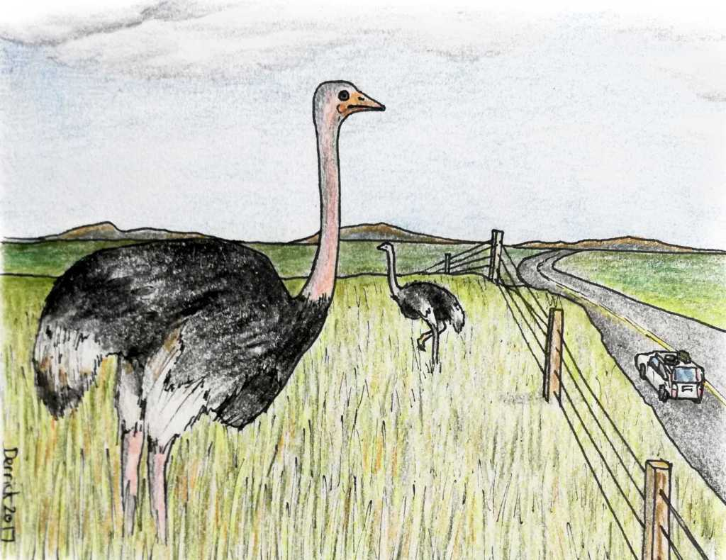 Drawing of an ostrich in a south african ostrich farm garden route